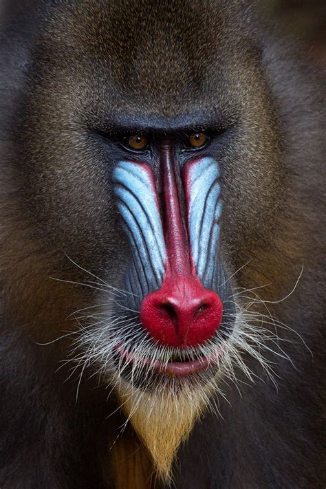 Gallery - The Painted Ape - Africa Geographic Magazine