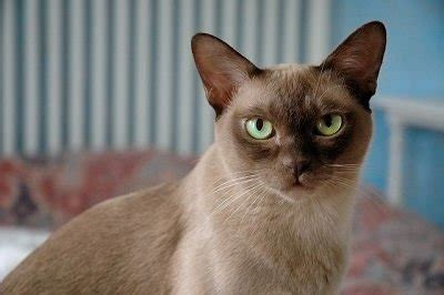 10 Top Non-Shedding Cat Breeds - Care