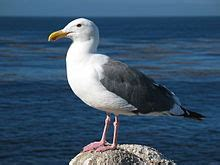 seagull - Wiktionary