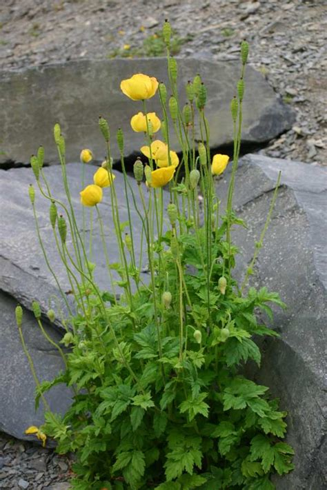 Meconopsis cambrica - Welsh Poppy